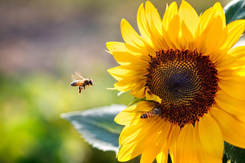 A honeybee approaches a yellow flower.