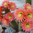 Academy Villas cactus flowers