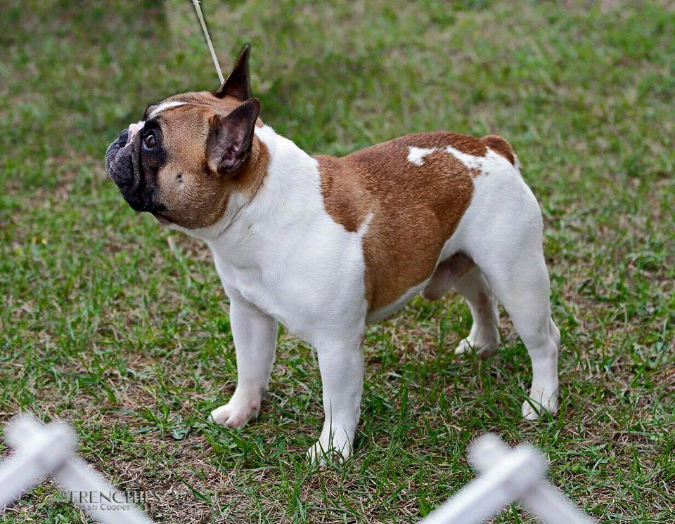 Candids © Hallmark French Bulldogs