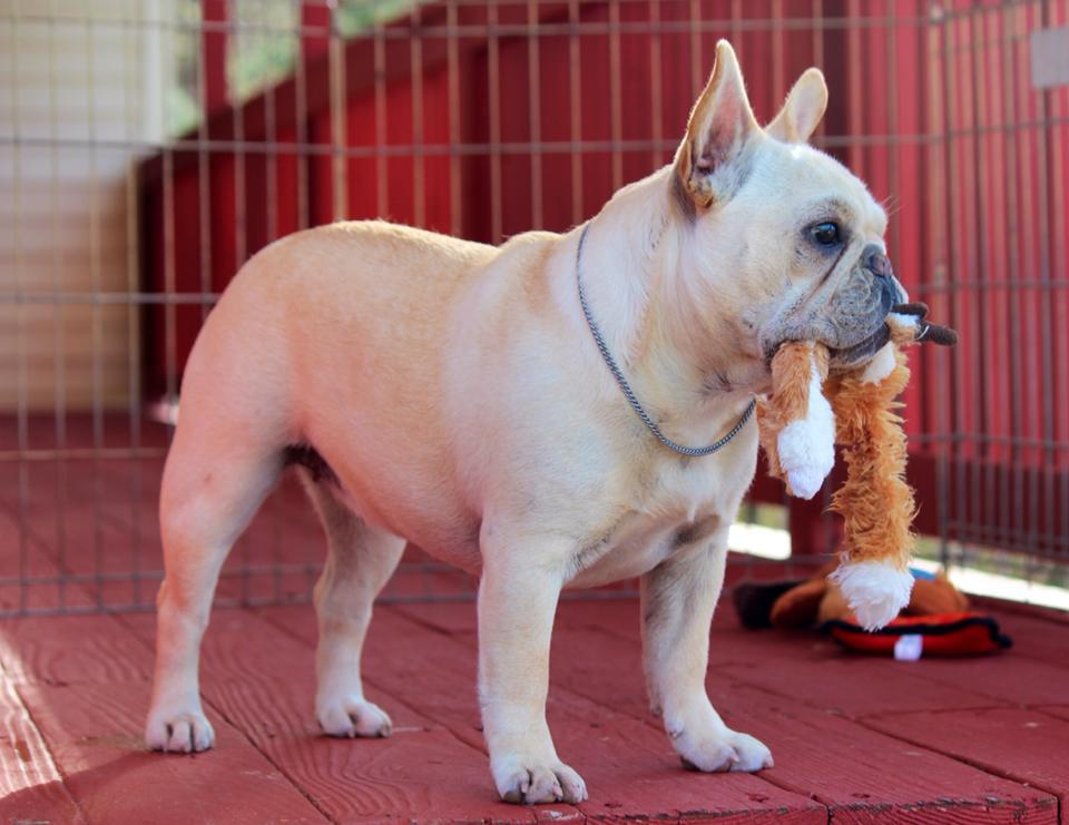 Candids © Hallmark French Bulldogs