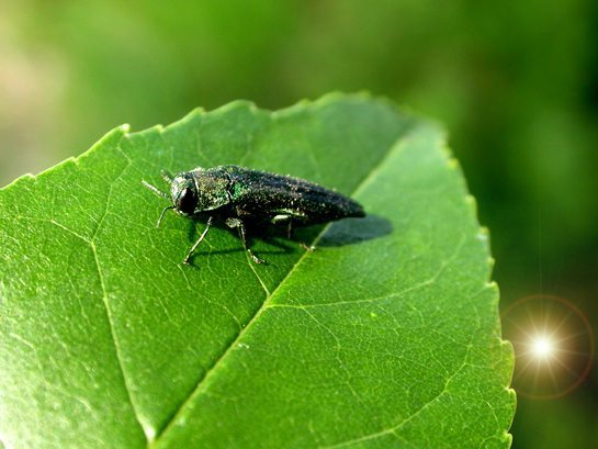 12Emerald ash borer adult beetle