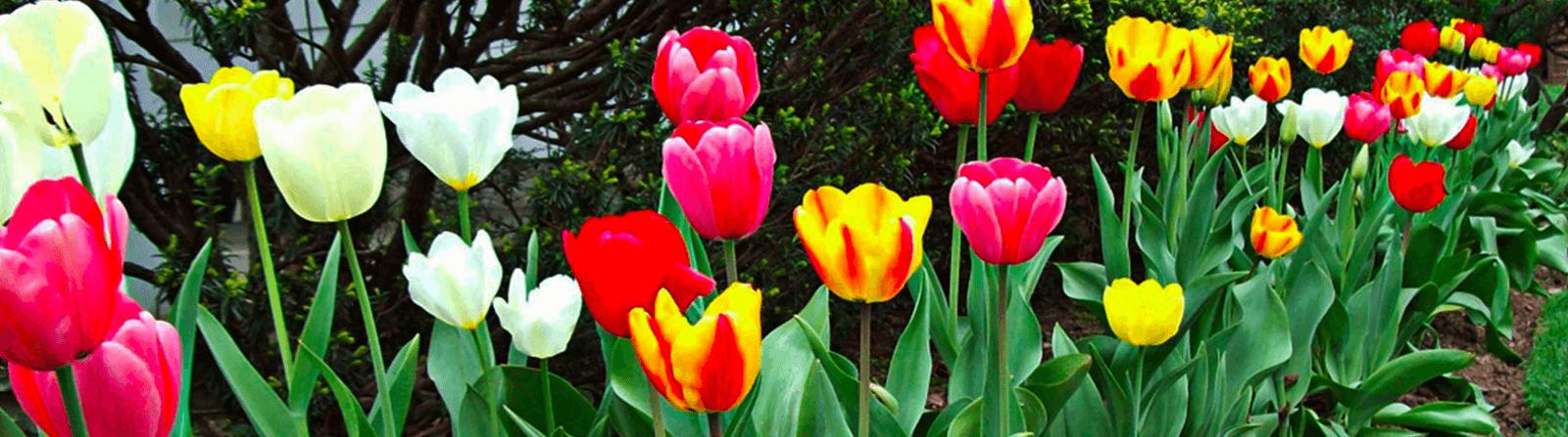 deer protected tulips short hills nj