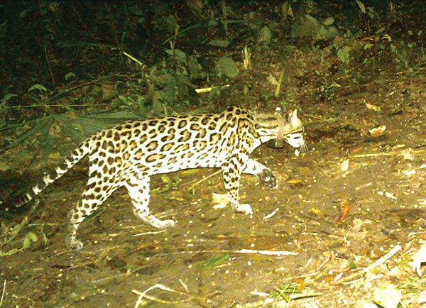 "An ocelot caught by a ""camera trap"" during a nocturnal outing. Photo courtesy of Scott Solomon"