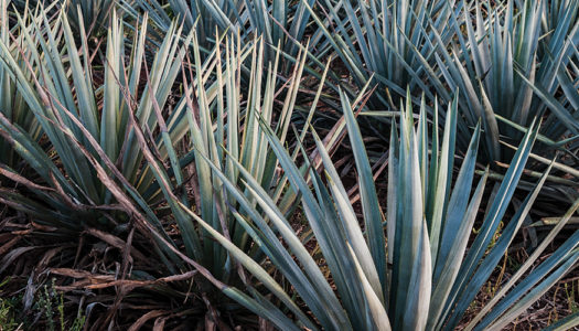 The New Agave