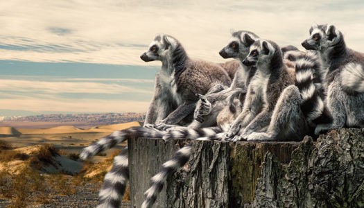 To Protect Trees, Protect Lemurs