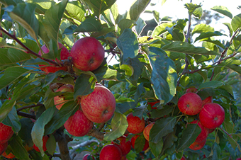 apples_2
