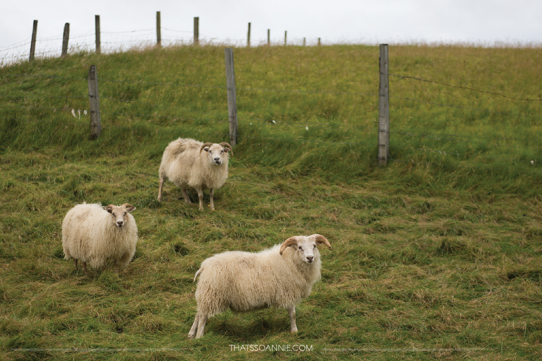 We passed by some skittish sheep on the way back to the Ring Road from the canyon.