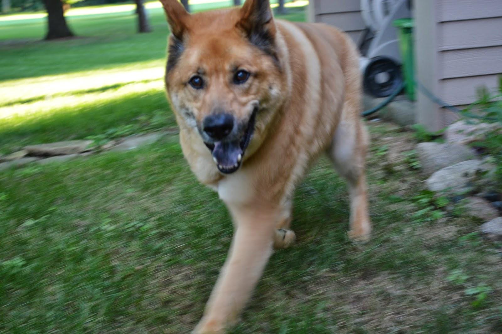 Kody dog running towards camera on a green landscaped lawn