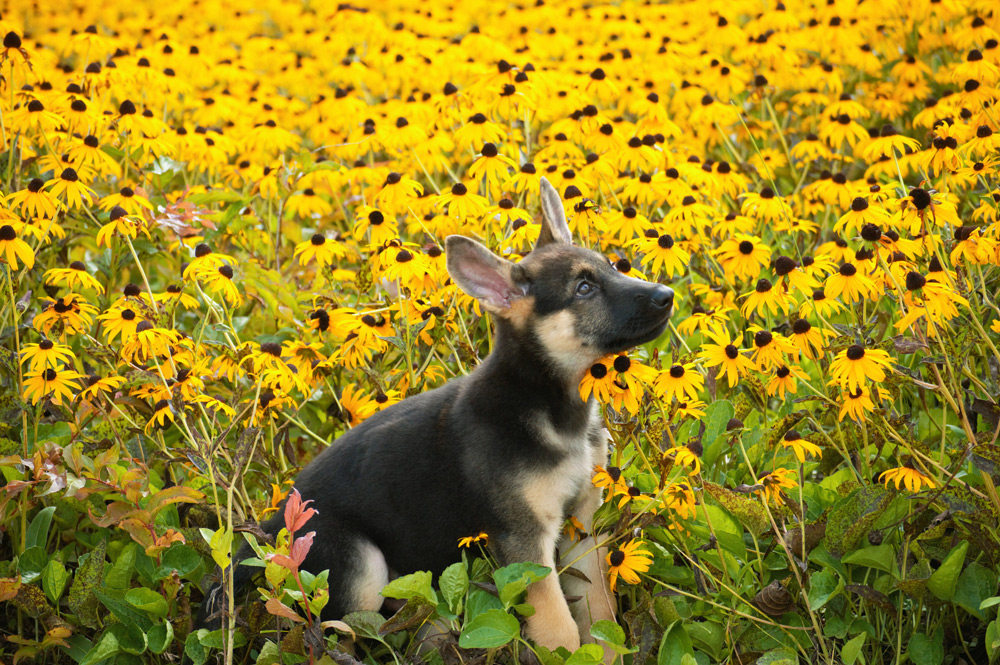 Westley as a puppy in a field of yellow flowers