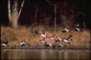 ducks resized for web