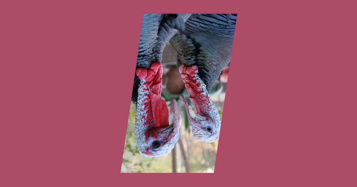 Photo of turkey birds, symbolizing Black Friday, Cyber Monday and Holidays