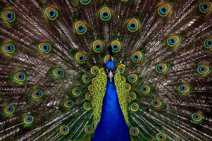 New Study Bad News For Peacock