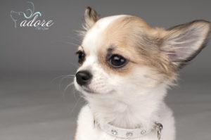 1200-147730272-chihuahua-puppy