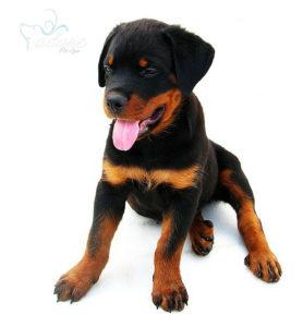 2_Months_Old_Rottweiler_Puppy