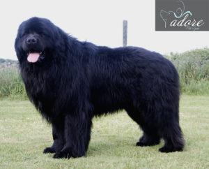 Black-Giant-Newfoundland-Dog