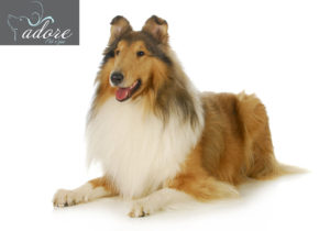 collie - rough coated collie laying down with tongue out panting isolated on white background