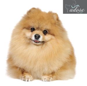 Puffy-Pomeranian