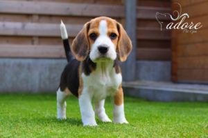 beagle-cachorro