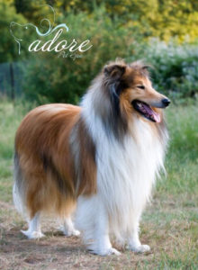 collie-article