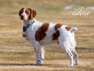 """The one-year-old Brittany """"Kinwashkly That's Mr. Jagger To You""""."""
