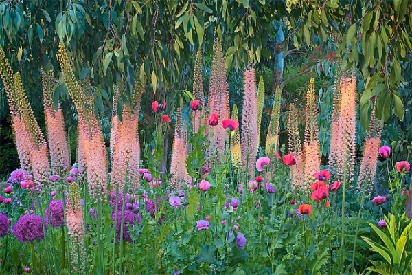 Foxtail lilly