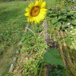 Jan Watkins' Sunflower