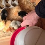 Watering the chicks