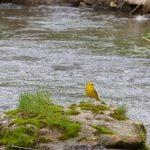 Yellow Warbler at Creek