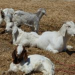 Goats Lounging