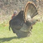 Male Turkey