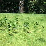 Lawn with milkweed on it.