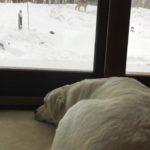 Abby resting