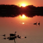 Goose families at sunset.