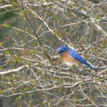 Bluebird on a branch
