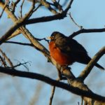 A robin sits in a tree