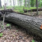 Log on ground to be cut into firewood