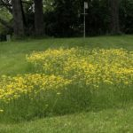 Patch of Yellow Hawkweed