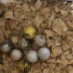 Image of golf balls in a hen nest.