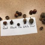 image shows different types of acorns