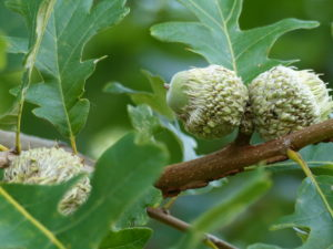 Image of acorns