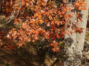 Image of russet oak leaves