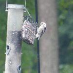 image of a white-headed downy woodpecker.