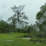 Firs Trees don in storm