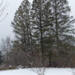 Three Fir Trees in Winter
