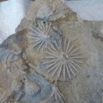 Crinoids splayed flat