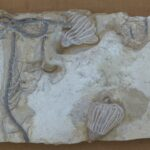 Parts of crinoids include the holdfast, columnal, arms, and pinnules.