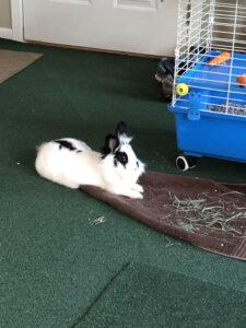 Lionhead Rabbit resting