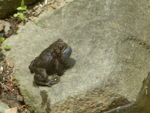 toad trilling