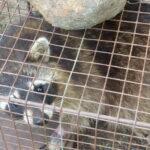 Raccoon in a box trap