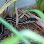 Image of a garter snake